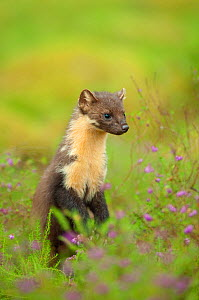 Pine marten (Martes martes) adult female, portrait, in caledonian forest, The Black Isle, Highlands, Scotland, UK, July - Terry Whittaker / 2020VISION