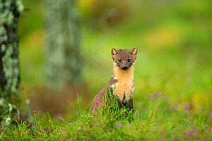 Pine Marten (Martes martes) adult female in caledonian forest, The Black Isle, Highlands, Scotland, UK, July. Did you know? In Scotland, pine martens moderate the population of the invasive grey squir... - Terry Whittaker / 2020VISION