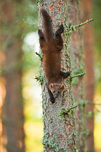 Pine marten (Martes martes) 4-5 month kit climbing down tree in caledonian forest, The Black Isle, Highlands, Scotland, UK, July - Terry Whittaker / 2020VISION