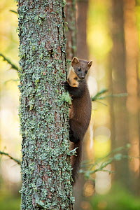 Pine marten (Martes martes) 4-5 month kit climbing up tree in caledonian forest, The Black Isle, Highlands, Scotland, UK, July - Terry Whittaker / 2020VISION
