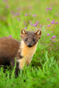 Pine marten (Martes martes) 4-5 month kit portrait in caledonian forest, The Black Isle, Highlands, Scotland, UK, July - Terry Whittaker / 2020VISION