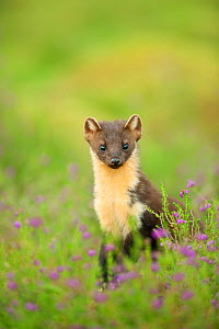Pine marten (Martes martes) adult female portrait in Caledonian forest, The Black Isle, Highlands, Scotland, UK, July.  -  Terry Whittaker / 2020VISION