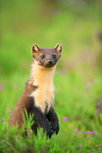 Pine marten (Martes martes) adult female portrait in caledonian forest, The Black Isle, Highlands, Scotland, UK, July - Terry Whittaker / 2020VISION