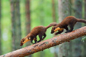 Pine marten (Martes martes) two 4-5 month kits running along branch of tree in caledonian forest, The Black Isle, Highlands, Scotland, UK, July. Photographer quote: 'Watching a family of young pine ma... - Terry Whittaker / 2020VISION