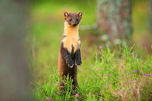 Pine marten (Martes martes) adult female standing up in caledonian forest, The Black Isle, Highlands, Scotland, UK, July. 2020VISION Book Plate. - Terry Whittaker / 2020VISION