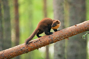 Pine marten (Martes martes) 4-5 month kit walking along branch in caledonian forest, The Black Isle, Highlands, Scotland, UK, July  -  Terry Whittaker / 2020VISION
