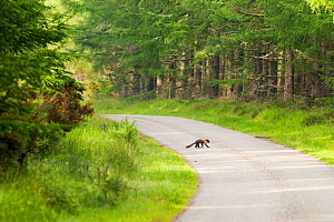 Pine marten (Martes martes) adult female carrying prey, crossing road in caledonian forest, The Black Isle, Highlands, Scotland, UK, July 2010 - Terry Whittaker / 2020VISION