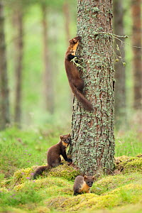 Pine marten (Martes martes) adult female with two 4-5 month kits in caledonian forest, The Black Isle, Highlands, Scotland, UK, July - Terry Whittaker / 2020VISION