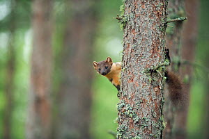 Pine marten (Martes martes) adult female in tree in caledonian forest, The Black Isle, Highlands, Scotland, UK, July - Terry Whittaker / 2020VISION