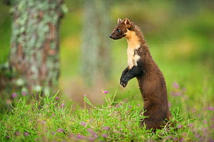 Pine marten (Martes martes) adult female portrait, standing, in caledonian forest, The Black Isle, Highlands, Scotland, UK, July. Photographer quote: ^Sitting alone in my hide for hours on end, you be... - Terry Whittaker / 2020VISION