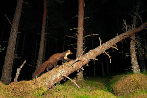 Pine marten (Martes martes) adult male walking along fallen tree trunk at night in caledonian forest, The Black Isle, Highlands, Scotland, UK, July, photographed by camera trap. - Terry Whittaker / 2020VISION