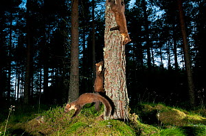 Pine marten (Martes martes) adult female and two 4-5 month kits playing in caledonian forest, dawn, The Black Isle, Highlands, Scotland, UK, July, photographed by camera trap. - Terry Whittaker / 2020VISION