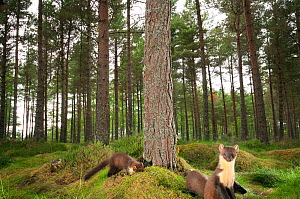 Pine marten (Martes martes) adult female and two 4-5 month kits in caledonian forest, The Black Isle, Highlands, Scotland, UK, July, photographed by camera trap.  -  Terry Whittaker / 2020VISION