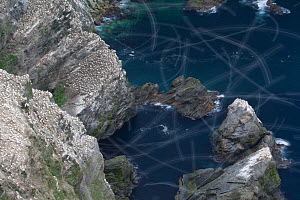 View over Gannet colony (Morus bassanus) with flight trails of birds in flight, Hermaness NNR, Unst, Shetland, Scotland, June 2010 - Peter Cairns / 2020VISION