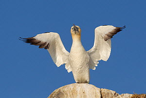 Gannet (Morus bassanus) territorial display on rock, wings open, Bass Rock, Firth of Forth, Scotland, UK, June. 2020VISION Book Plate.  -  Peter Cairns / 2020VISION