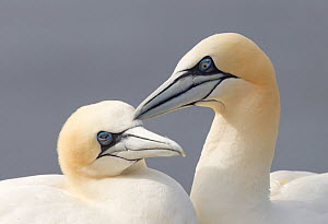 Gannet (Morus bassanus) mutual preening, Bass Rock, Firth of Forth, Scotland, UK, June - Peter Cairns / 2020VISION