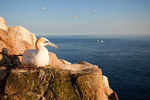 Gannet (Morus bassanus) on nest on cliff. June 2010. - Peter Cairns / 2020VISION
