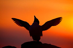 Silhouette of Razorbill (Alca torda) against sunset, flapping wings. June 2010. Photographer quote: 'A cacophonous seabird colony on a summers evening is just spell-binding. Throw in a decent sunset a...  -  Peter Cairns / 2020VISION