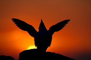 Silhouette of Razorbill (Alca torda) against sunset, flapping wings. June 2010.  -  Peter Cairns / 2020VISION