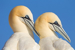 Pair of Gannets (Morus bassanus) mutual preening, Bass Rock, Firth of Forth, Scotland, UK, June - Peter Cairns / 2020VISION