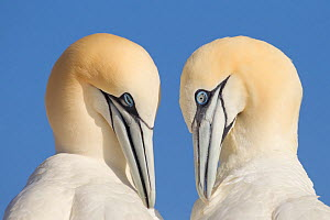 Pair of Gannets (Morus bassanus) mutual preening, Bass Rock, Firth of Forth, Scotland, UK, June. Photographer quote: 'I never get tired of watching gannets. This pair who momentarily lined up in perfe...  -  Peter Cairns / 2020VISION