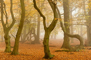 RF- Contorted trunks of Beech trees (Fagus sylvatica) in autumn mist. Beacon Hill Country Park, National Forest, Leicestershire, UK. October 2010. (This image may be licensed either as rights managed...  -  Ross  Hoddinott / 2020VISION