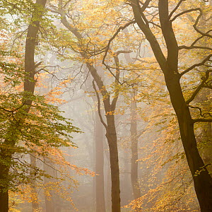 Beech trees (Fagus sylvatica) in autumn mist, Beacon Hill Country Park, The National Forest, Leicestershire, UK, October 2010.  -  Ross Hoddinott / 2020VISION