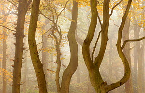 Contorted branches and trunks of Beech trees (Fagus sylvatica) in autumn mist, Beacon Hill Country Park, The National Forest, Leicestershire, UK, October 2010.  2020VISION Exhibition. 2020VISION Book... - Ross Hoddinott / 2020VISION