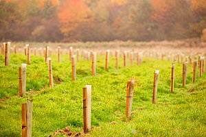 New planting of young sapling trees in protective plastic �collars�, Feanedock Wood, The National Forest, Derbyshire, UK, November 2010. - Ross Hoddinott / 2020VISION