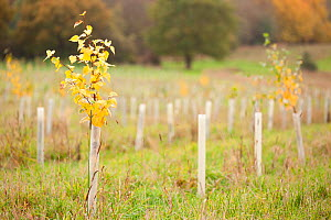 RF- New planting of young sapling trees in protective plastic collars, Feanedock Wood, The National Forest, Derbyshire, UK. November 2010. (This image may be licensed either as rights managed or royal... - Ross  Hoddinott / 2020VISION