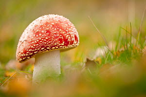 Fly Agaric fungus {Amanita muscaria} in autumn, Beacon Hill Country Park, The National Forest, Leicestershire, UK. November. Did you know? Fly agaric is so called as it was historically used as an ins... - Ross Hoddinott / 2020VISION