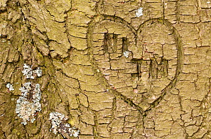 Heart shape and initials engraved into the bark of tree, Beacon Hill Country Park, The National Forest, Leicestershire, UK. November. 2020VISION Book Plate. - Ross Hoddinott / 2020VISION