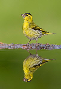 Siskin (Carduelis spinus) male reflected in garden pool. Scotland, May.  -  Peter Cairns