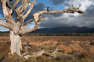 Gnarled Scots Pine (Pinus sylvestris) tree framing western Grampians crowned with heavy clouds. Cairngorms National Park, Scotland, May. - Peter Cairns