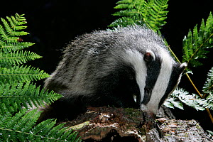 Badger (Meles meles) foraging in bark. Scotland, May. - Peter Cairns