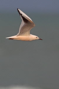 Slender Billed Gull (Chroicocephalus genei) in flight. Gambia, Africa, February.  -  Robin Chittenden