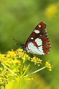 Southern White Admiral Butterfly (Limenitis reducta). Lesvos, Greece, May.  -  Robin Chittenden