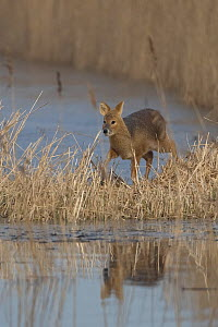 Chinese Water Deer (Hydropotes inermis) in reedbed habitat. Norfolk, UK, March.  -  Robin Chittenden