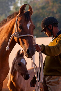 Domestic horse, Kathiawari mare and colt with policeman, Bhavnagar Police Station, Gujarat, India, January 2011  -  Kristel Richard