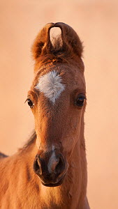 Domestic horse, portrait of Kathiawari colt, Bhavnagar Police Station, Gujarat, India, January 2011  -  Kristel Richard