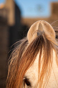 Close up of small curved ears of Kathiawari stallion, Inaj National Stud, Gujarat, India, January 2011 - Kristel Richard