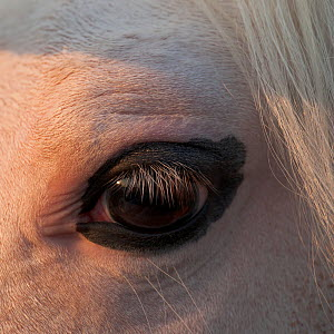 Close-up of the eye of a tobiano Kathiawari stallion, Gujarat, India.  -  Kristel Richard