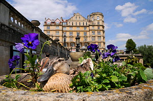 Mallard Duck (Anas platyrhynchos) female nesting in ornamental stone flowerpot among Pansies (Viola x wittrockiana), camouflaged as people walk by. Parade Gardens Park, Bath, UK, June.  -  Nick Upton