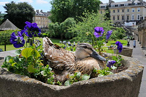 Mallard Duck (Anas platyrhynchos) female nesting in ornamental stone flowerpot among Pansies (Viola x wittrockiana). Parade Gardens Park, Bath, UK, June. Did you know? A female mallard may lay more th...  -  Nick Upton / 2020VISION