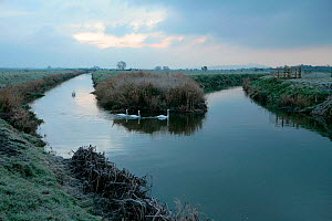 Mute swans (Cygnus olor) on the River Brue at dusk, Somerset Levels, near Meare, Somerset, UK, November 2010 - John Waters