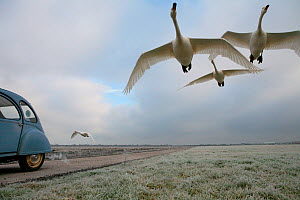 Hand-reared Whooper Swans (Cygnus cygnus) being trained to fly alongside a car at Weson airfield by Lloyd and Rose Buck for filming purposes. Somerset, UK, January 2011. - John Waters