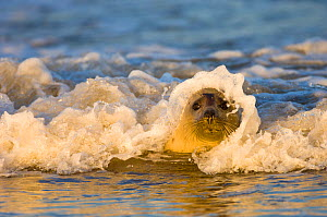 A wave breaking over the head of a Grey Seal (Halichoerus grypus). Donna Nook, Lincolnshire, UK, Europe, November.  -  Inaki Relanzon