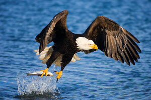 Bald Eagle (Haliaeetus leucocephalus) taking a fish from water. Homer, Kenai Fjord, South Alaska, USA, March.  -  Inaki Relanzon