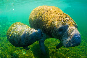 Manatee (Trichechus manatus) mother and calf swimming side by side. Crystal River, Florida, USA, April. - Inaki Relanzon