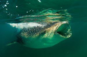 Whale Shark (Rhincodon typus), eating krill and plankton at the surface. Gulf of Mexico, Mexico, North America, August. - Inaki Relanzon